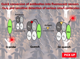 Quick conversion of antibodies into fluorescent sensors - Easy and sensitive detection of various small molecules