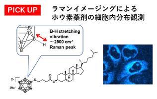 ラマンイメージングによるホウ素薬剤の細胞内分布観測
