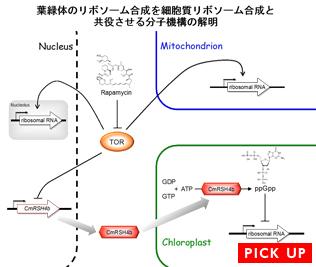 葉緑体のリボソーム合成を細胞質リボソーム合成と共役させる分子機構の解明