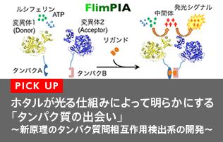 ホタルが光る仕組みによって明らかにする「タンパク質の出会い」<br>〜新原理のタンパク質間相互作用検出系の開発〜